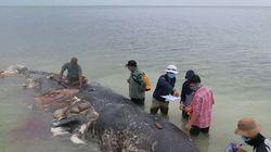죽은 향고래 뱃속의 플라스틱 쓰레기 6kg이 연구 과제인
