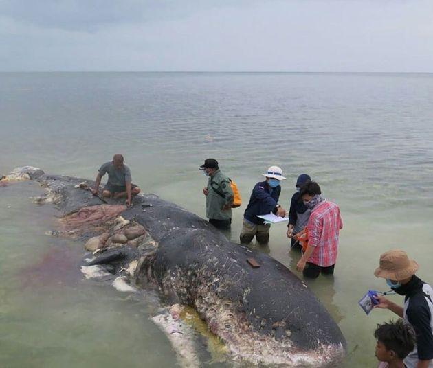 19일 인도네시아 술라웨시 남동부 카포타 섬 해안에 죽은 채 떠밀려온 향고래에서 다량의 플라스틱 폐기물이