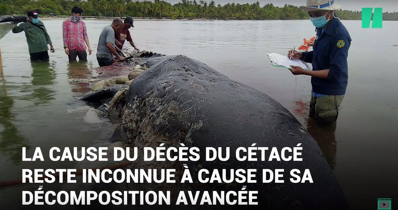 Un cachalot trouvé mort avec 6kg de plastique dans le