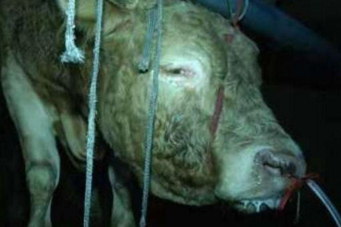 중국에서 소에게 12시간 동안 물을 먹인 도축업체가