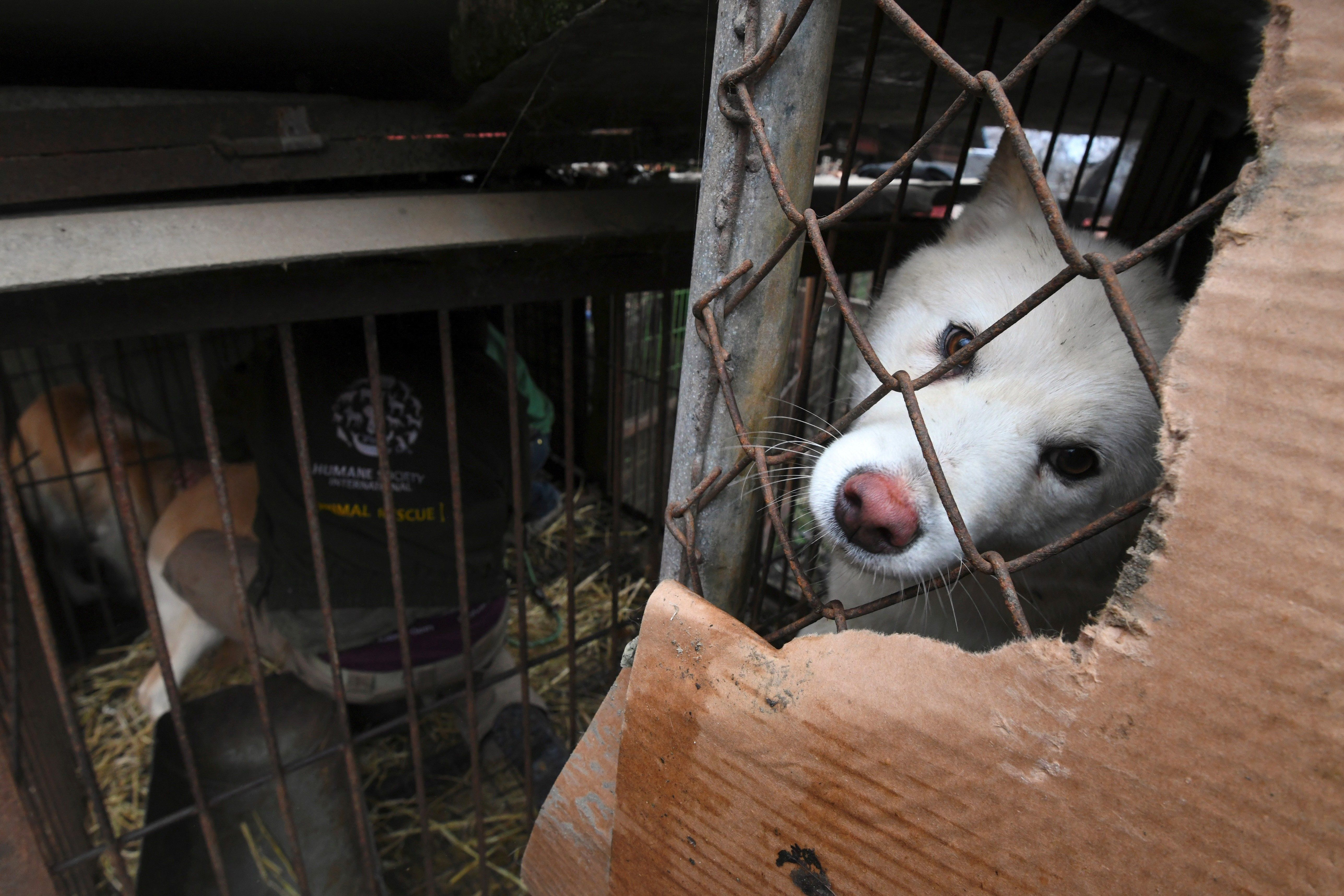 In this picture taken Nov. 28, 2017, a dog looks out from a cage at a dog farm during a rescue event, involving the closure o