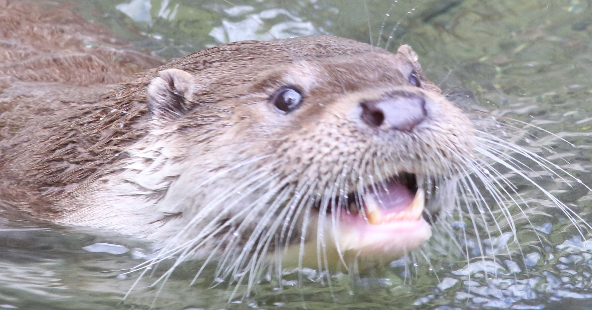 otter wanted for devouring koi at formal garden may have made a