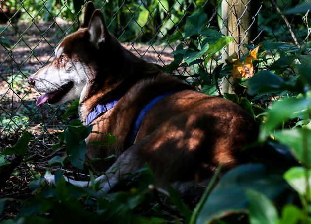 Dead Teen's Missing Husky Turns Up After 18 Months To Bring Family