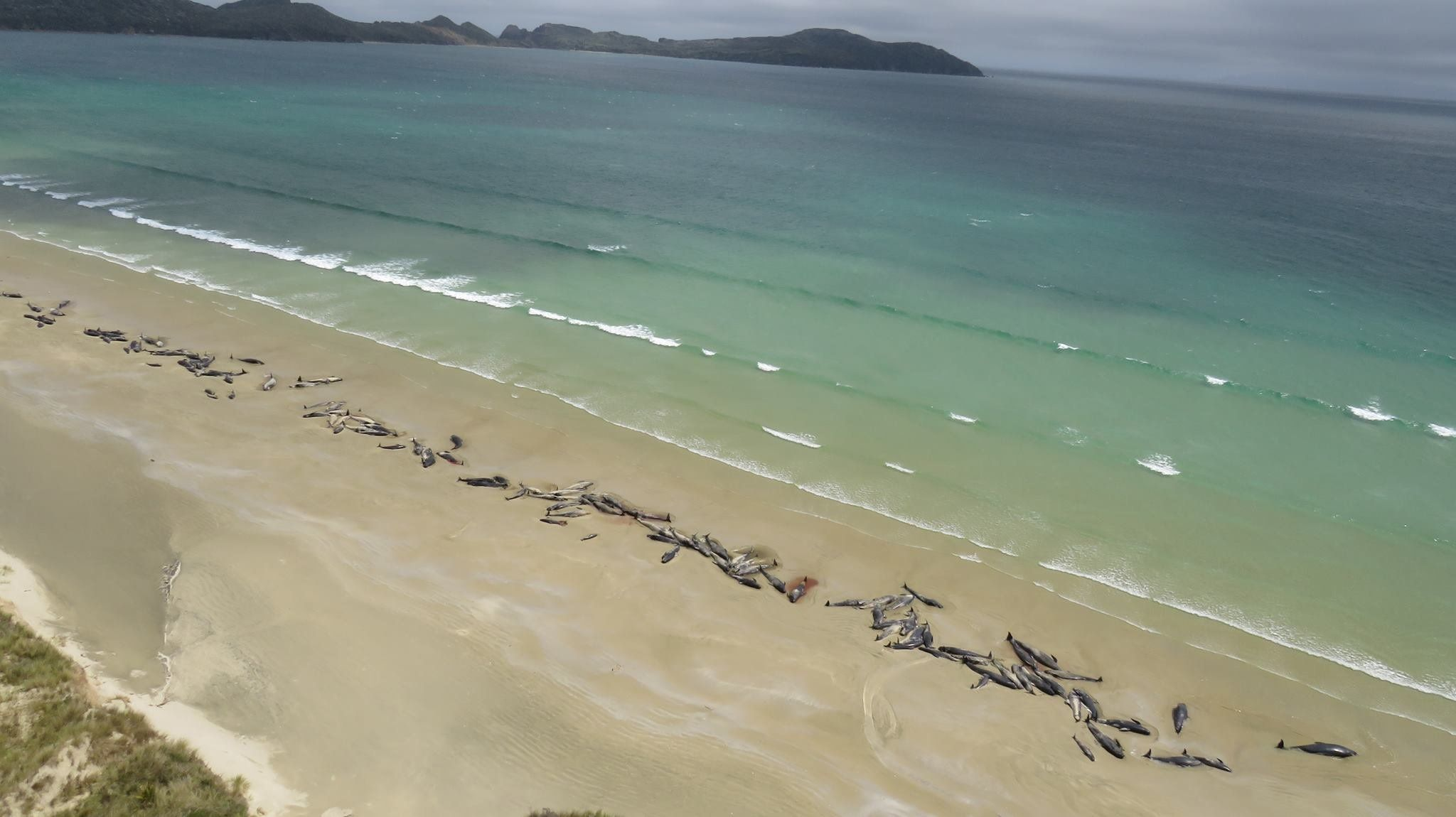 Almost half of the whales were already dead by the time they were