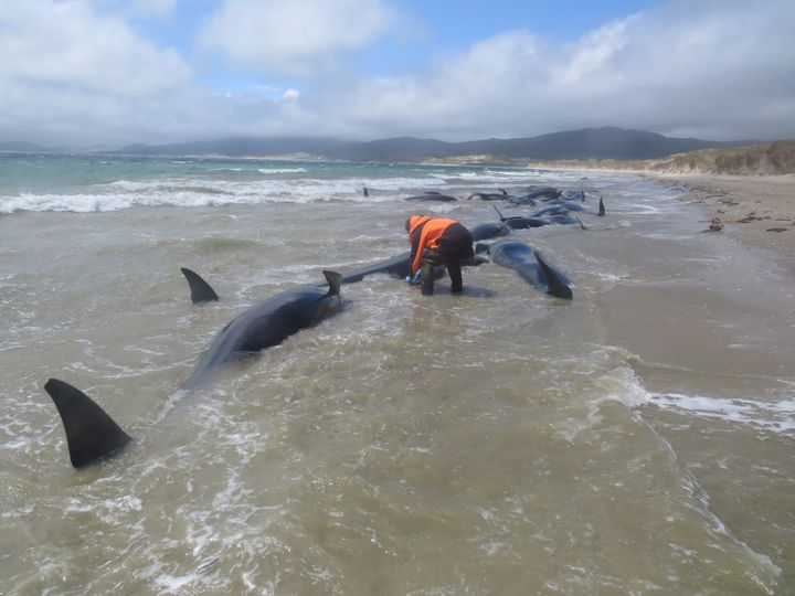 Officials made the decision to euthanize the remaining whales.