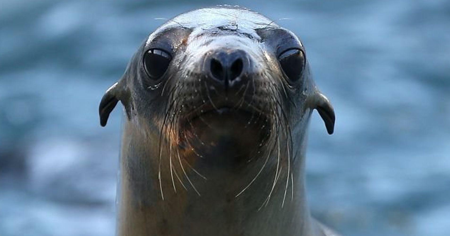 U.S. Probes Shooting Deaths Of 6 Sea Lions Off Washington ...