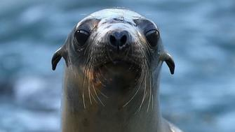Six Sea Lions Found Shot To Death, Including One Decapitated, Off Coast Of Washington