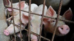 한국에도 중국발 '아프리카 돼지열병' 주의보가