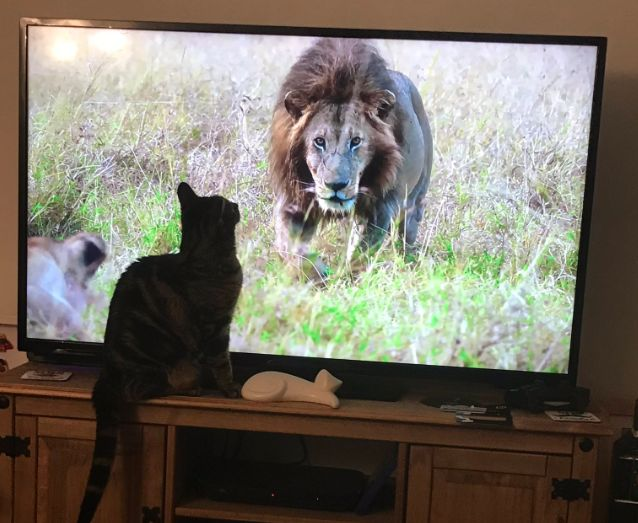 MoggleBox: These Cats Watching The Dynasties Lions Will Totally Make Your