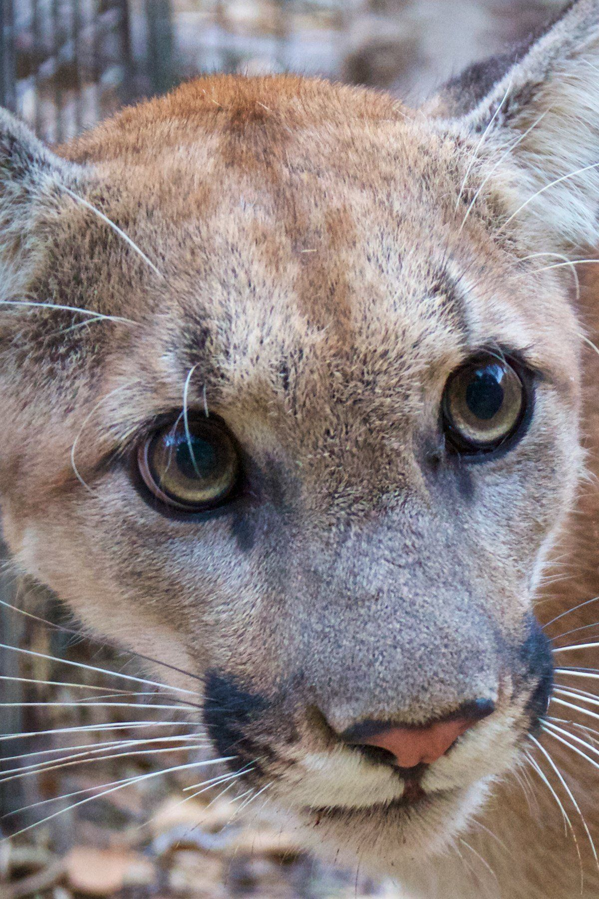 Mountain lion P-74 likely killed in California fire