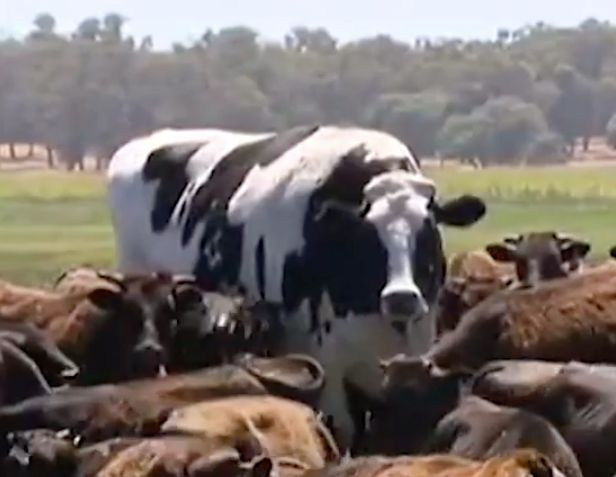 Holy cow! Giant steer 'Knickers' stands head and shoulders over herd