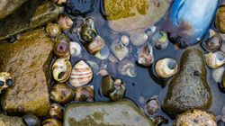 Microplastics Are Making This Shellfish An Easier Catch For Predator