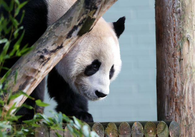 Αφαίρεση όρχεων για τον Yang Guang, το πανέμορφο πάντα του ζωολογικού κήπου του