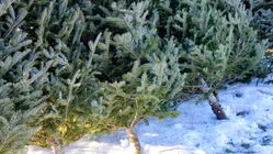 Where To Buy A Real Christmas Tree For Less Than