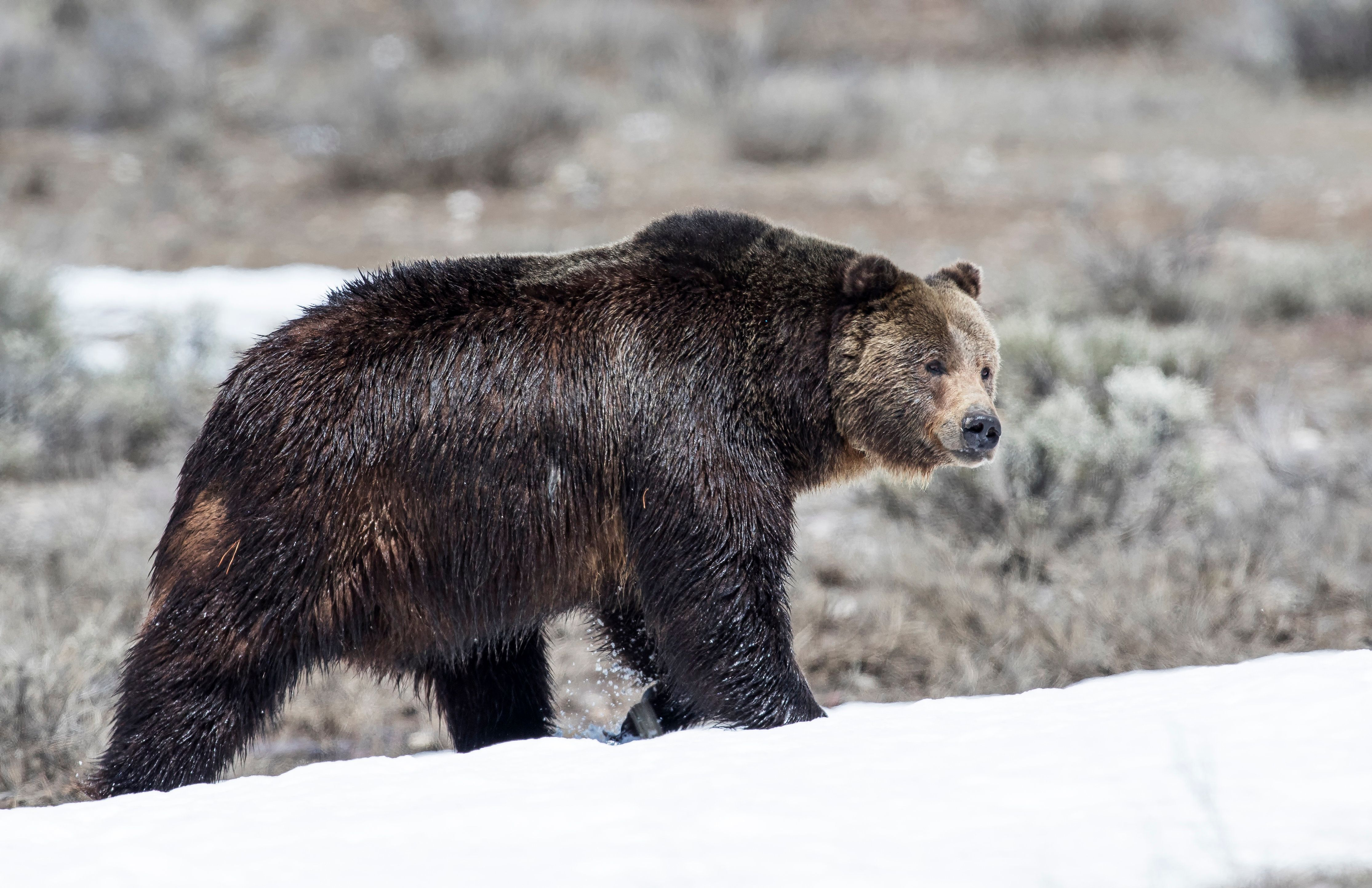 Grizzly bear on snow in early springtime