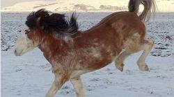 Πρώτη φορά τέτοια άλογα! Νέα ράτσα στην Ισλανδία, με δίχρωμα μάτια και πρωτότυπο