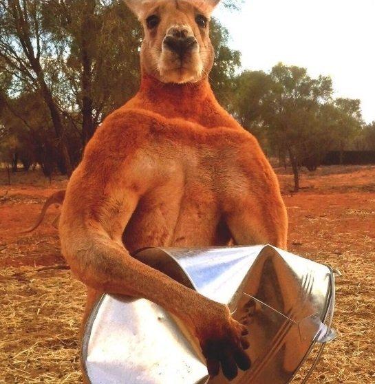 Hulk-Känguru, Monster-Wombat: Diese Tier-Giganten machen Riesen-Rind