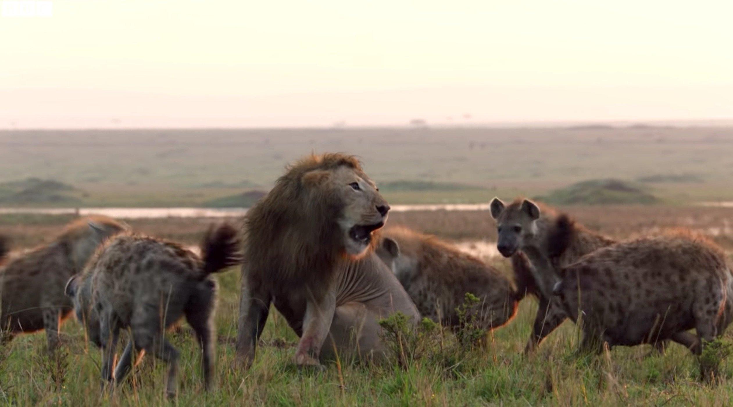 La bataille de ce lion contre plus de 20 hyènes est la vidéo la plus stressante de