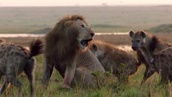 Lion vs hyenas