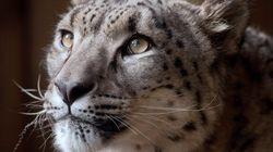 Snow Leopard Shot Dead At Dudley Zoo During Escape