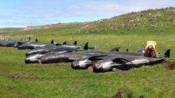 Another 51 Pilot Whales Die After Stranding In New