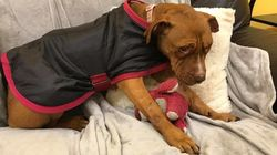 Tierschützer retten Hündin: Sie wurde als Köder bei Tierkämpfen