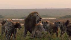 Βίντεο: Λιοντάρι μάχεται ενάντια σε 20