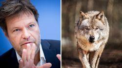 Wolf fällt offenbar Mann an: Grüne wollen Jagd