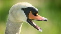 Family Of Swans Shot And Killed In 'Senseless