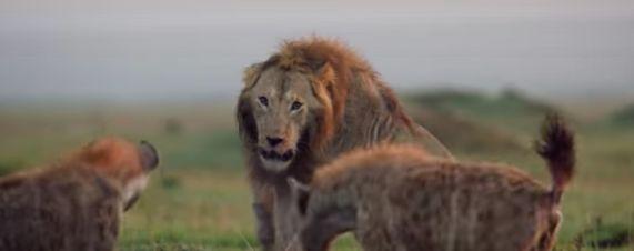 La bataille de ce lion contre plus de 20 hyènes est la vidéo animalière la plus stressante de