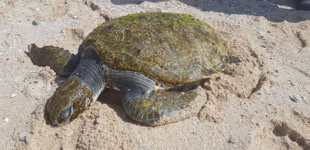 The sea turtle was found on a beach in Struisbaai, South Africa, on Nov.