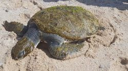 Plastic Bag Removed From Sea Turtle's Throat In Troubling
