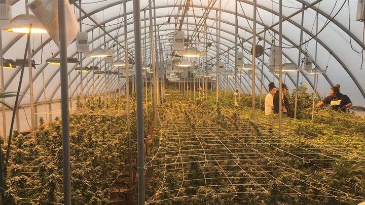 Workers tend to marijuana plants in a greenhouse at Nature's Herbs and Wellness Center, a dispensary in Garden City, Colorado