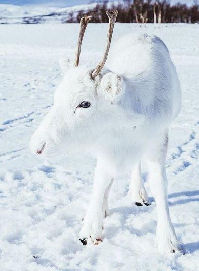 Ένας σπάνιος λευκός, μικρός τάρανδος ποζάρει για φωτογραφία και το Instagram τον