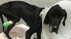 Animal Shelter Says Starved Great Dane Ate Its Own Foot To