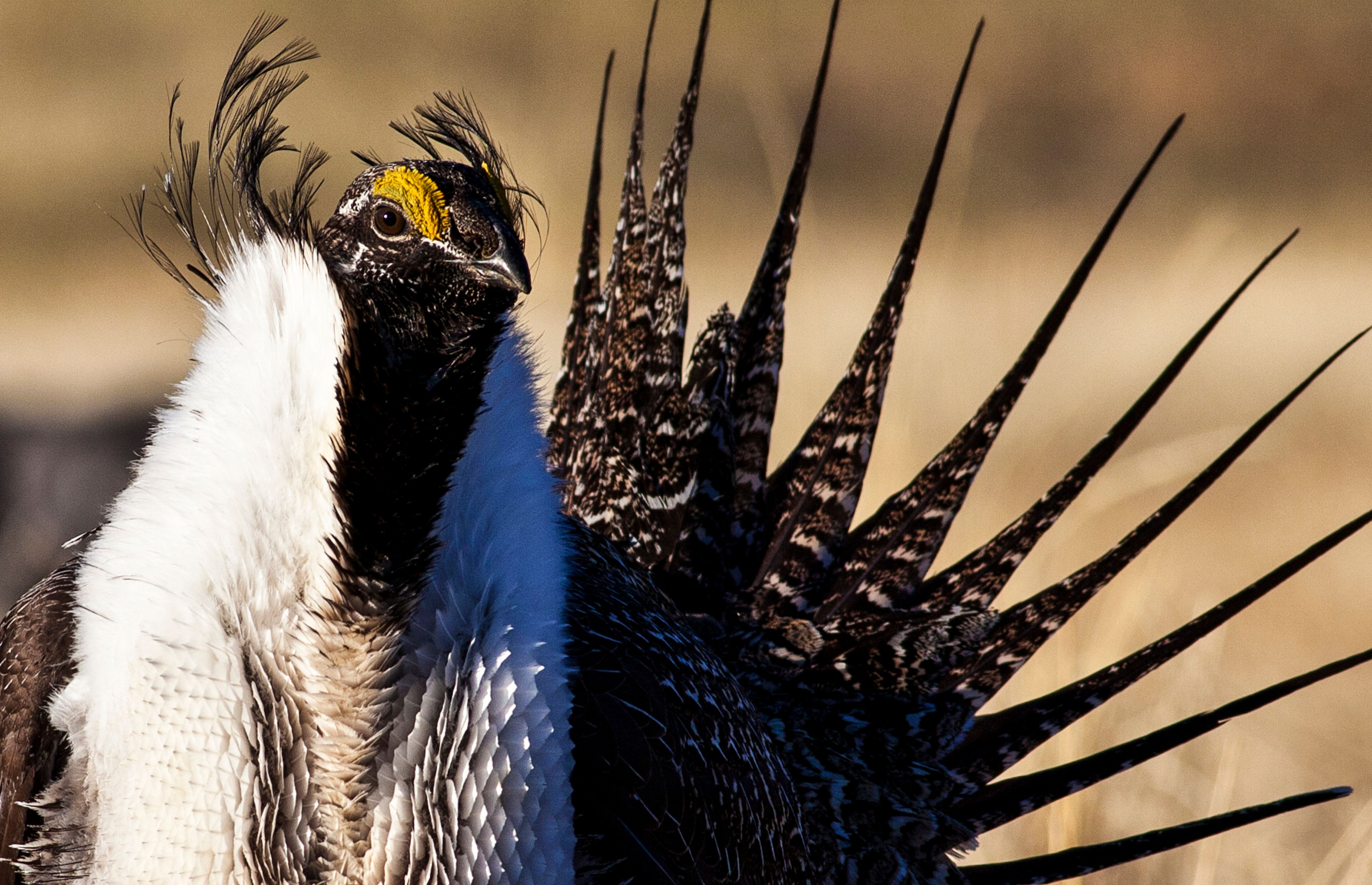 U.S. Bureau of Land Management photo shows a sage grouse in this undated photo. President Barack Obama's administration plans to protect the greater sage grouse in the western United States by limiting oil and gas development and renewable energy in the bird's habitat, under a federal plan released on May 28, 2015.    REUTERS/Bob Wick/BLM/Handout FOR EDITORIAL USE ONLY. NOT FOR SALE FOR MARKETING OR ADVERTISING CAMPAIGNS. THIS IMAGE HAS BEEN SUPPLIED BY A THIRD PARTY. IT IS DISTRIBUTED, EXACTLY AS RECEIVED BY REUTERS, AS A SERVICE TO CLIENTS