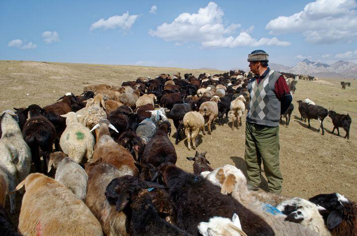 Kachkynovna's husband, Talant Egimbaev Asankanovich, grazing his 1,000 goats.