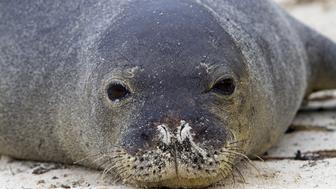Hawaii, Midway , Sand Island, Hawaiian monk seal (Monachus schauinslandi ). (Photo by Sylvain CORDIER/Gamma-Rapho via Getty Images)