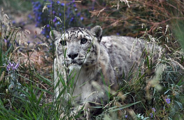 A snow leopard near Issyk-Kul in Kyrgyzstan. The northern Tian Shanis a biodiversity hotspot, home...