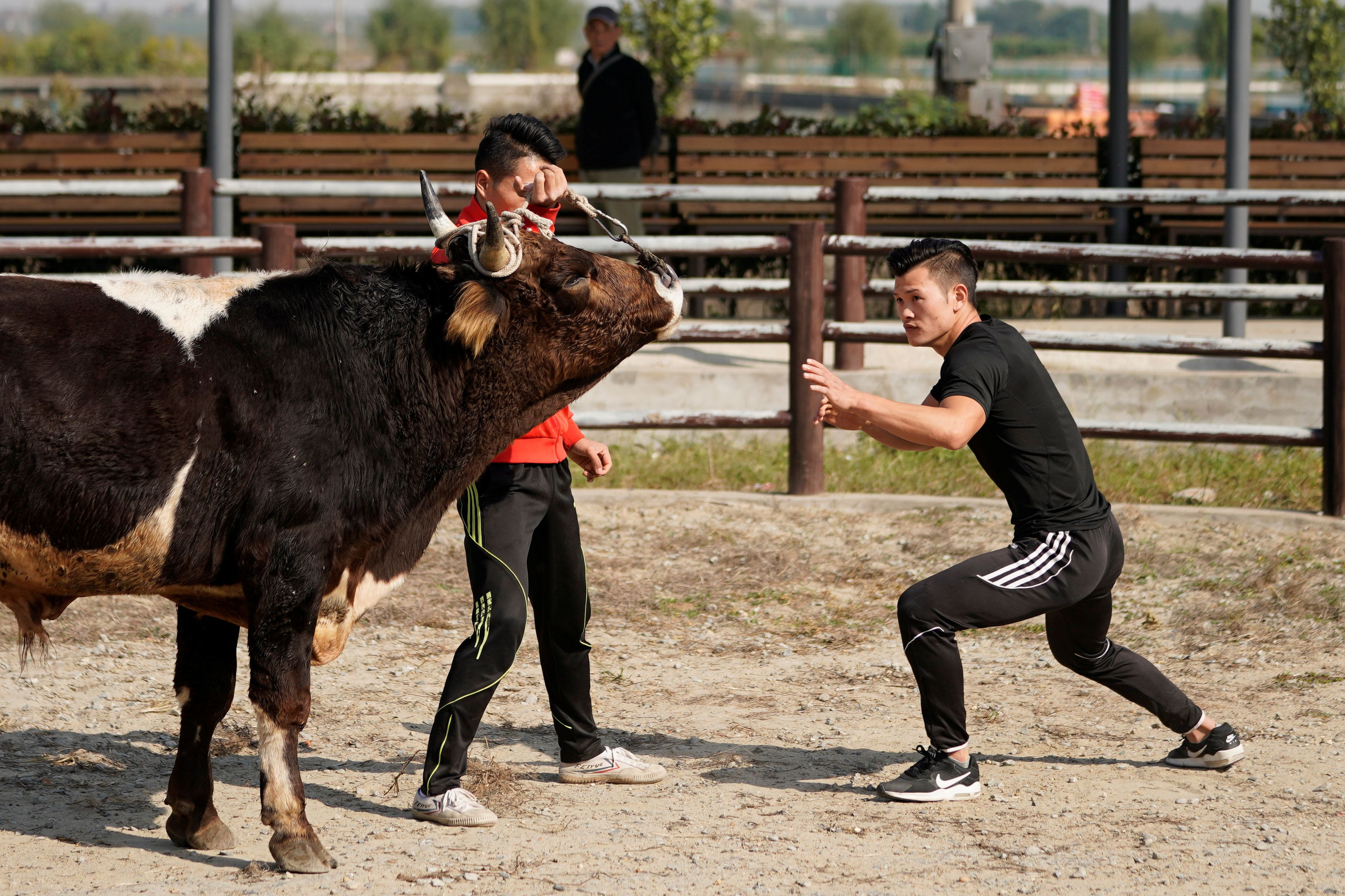 Bullfighter Ren Ruzhi, 24, fights with a bull during a practice session at the Haihua Kung-fu School in Jiaxing, Zhejiang province, China October 27, 2018. Picture taken October 27, 2018.  REUTERS/Aly Song