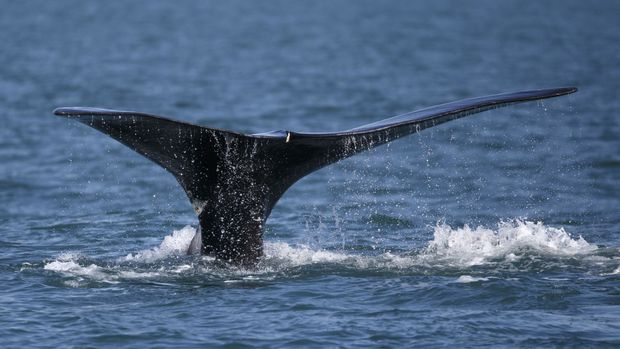 Of particular concern is the endangered North Atlantic right whale, with only around 440 individuals left.