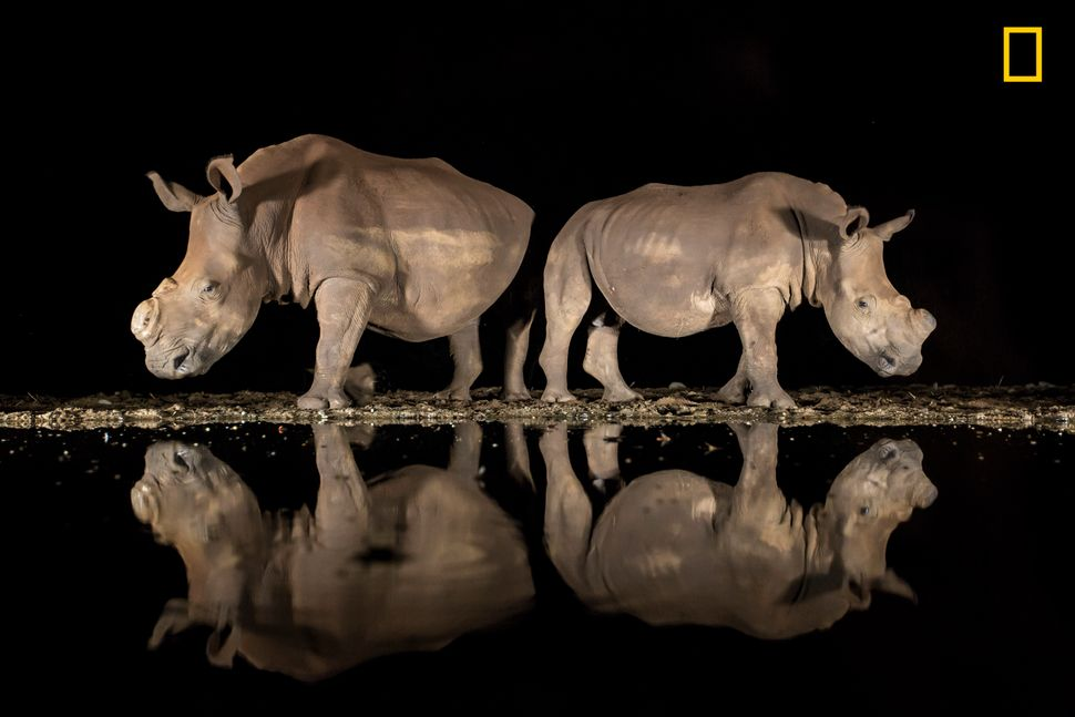 As the late-night hours ticked by and my eyelids grew heavy, two southern white rhinoceroses appeared silently from the shado