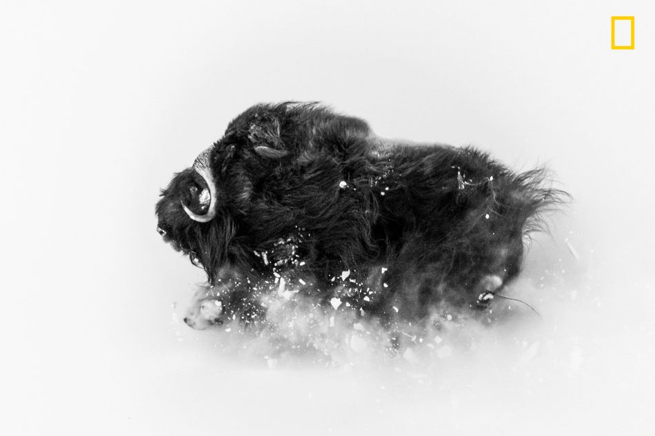 A few miles from Qaanaaq (Thule), Greenland, I was on a hike in search of musk oxen when I came upon a group of them. This ox was running on a hillside in deep snow, which exploded underneath it -- an amazing sight. The photo came together in a few seconds. I was lucky enough to be at the right spot to observe them frolicking, and then I had the incredible experience of watching them closely for about an hour. I love photographing musk oxen against the wintry landscape: They're extremely tough Arctic survivors. This photo shows their beauty and their power -- and the snow they deal with for about eight months of the year.