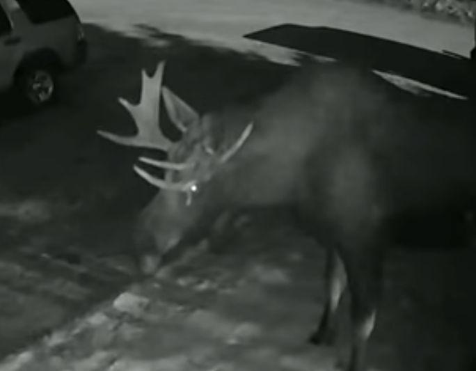 moose doorbell ditches alaska couple