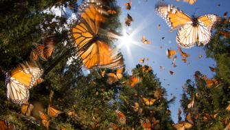 Monarch butterfly Mexico Michoacan