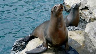 Sea lions Latin name zalophus californianus