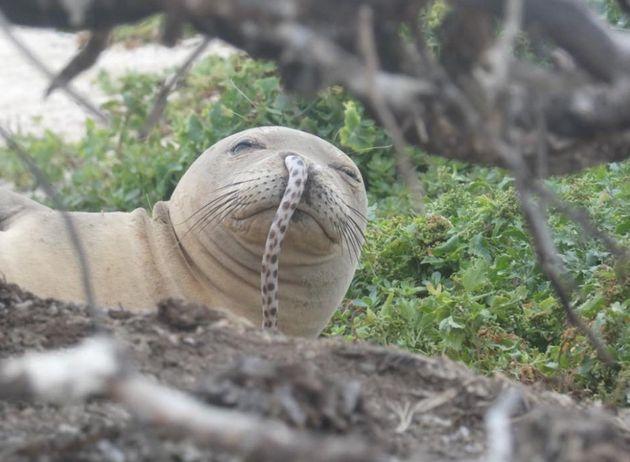이 바다표범의 코에는 어떻게 뱀장어가