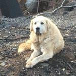 Hund überlebt Waldbrand in Kalifornien –so hat er es