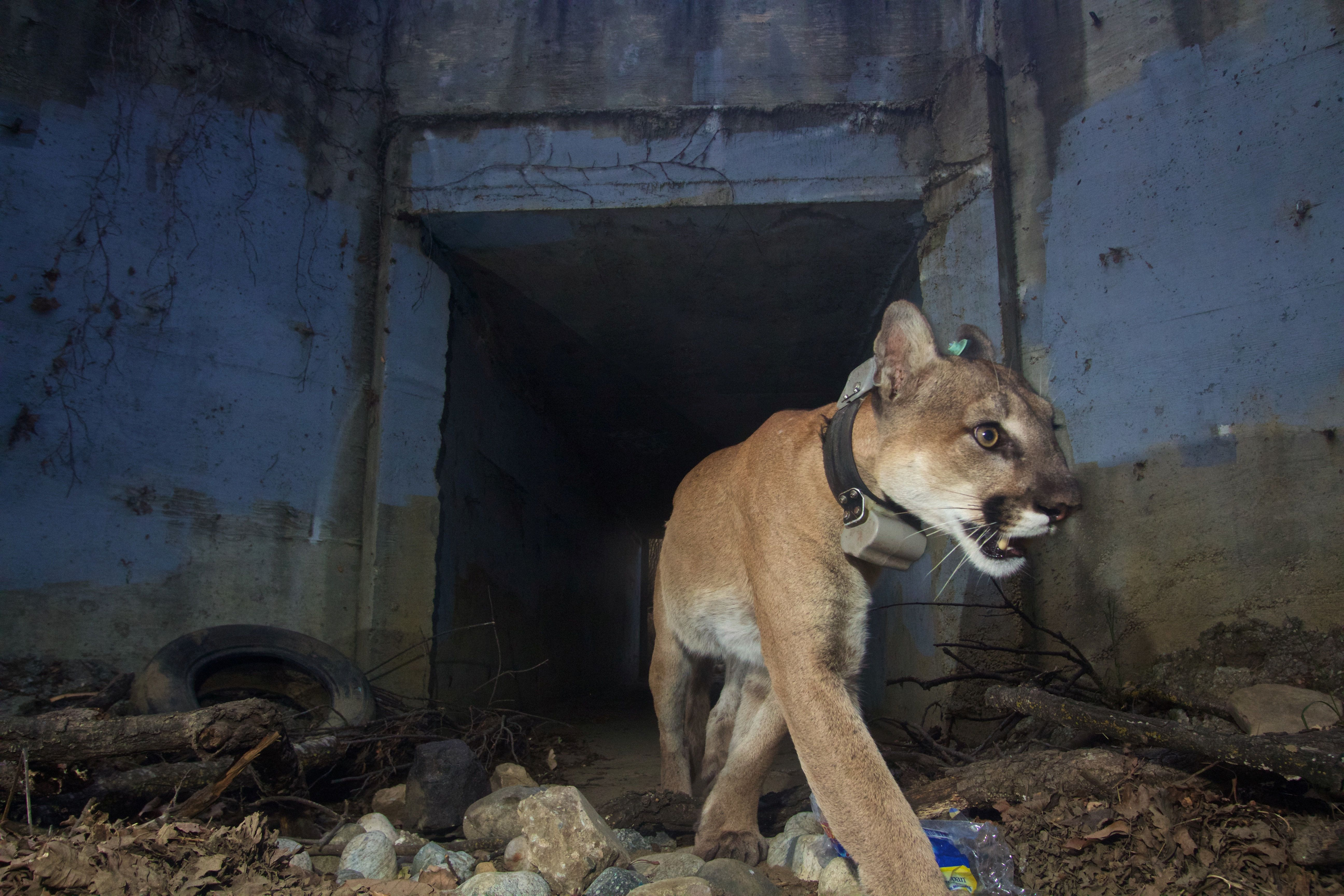 An adult male mountain lion known as P-64, walks through a tunnel heading south in this National Park Service photo captured near the Santa Monica Mountains, California, U.S., May 22, 2018. Picture taken May 22, 2018.  Courtesy National Park Service/Handout via REUTERS  ATTENTION EDITORS - THIS IMAGE HAS BEEN SUPPLIED BY A THIRD PARTY.