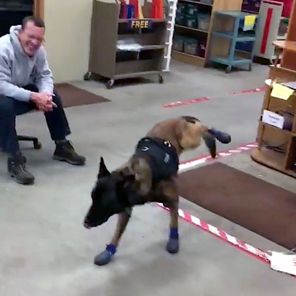 Dog tries on boots for the first time.